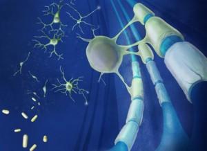 Célula progenitora de oligodendrocitos reparando la mielina