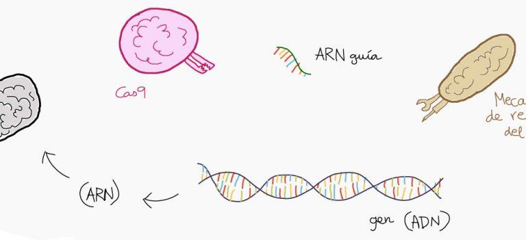 ¿Por qué es tan revolucionaria la técnica de CRISPR/Cas9?